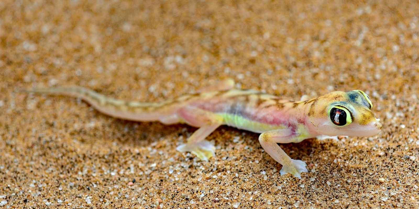 Gecko in Namibian desert