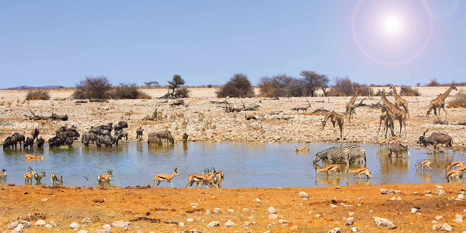 Zebra, springbok, wildebeest and giraffe at Okaukeujo waterhole