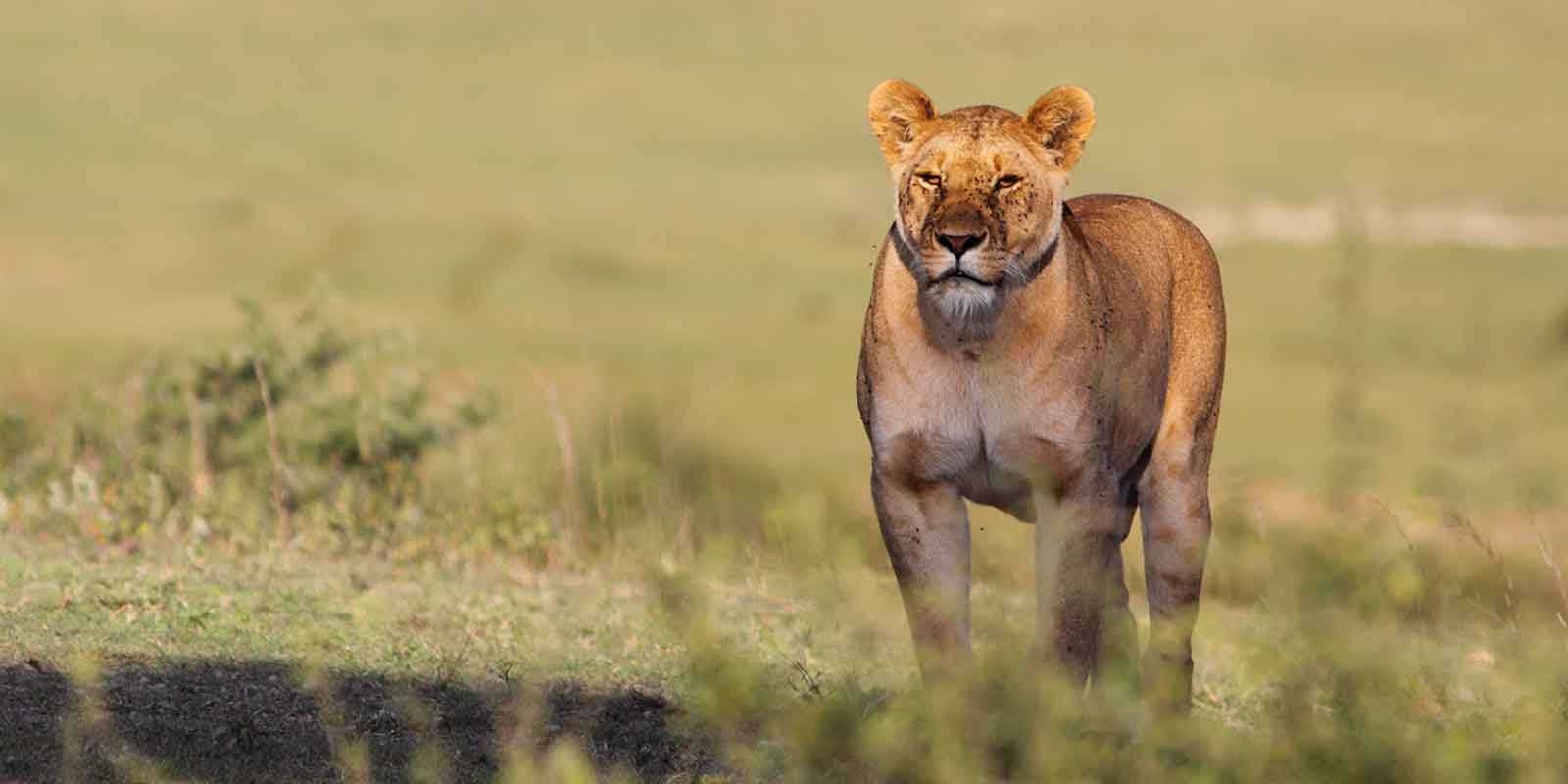 Lioness standing in grass