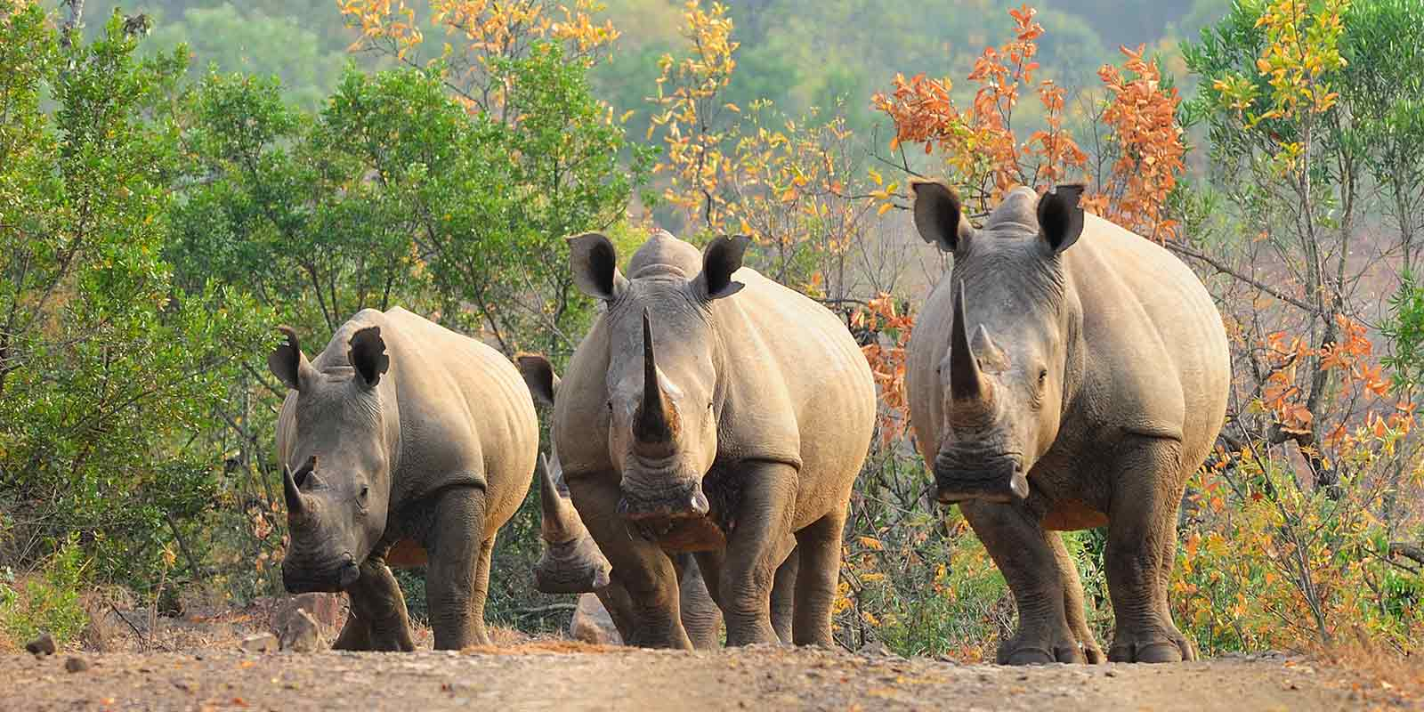 Family of three white rhino walking down a path in South Africa