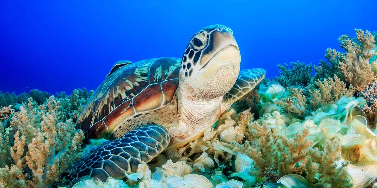 Sea turtle amongst coral in deep blue sea in Borneo