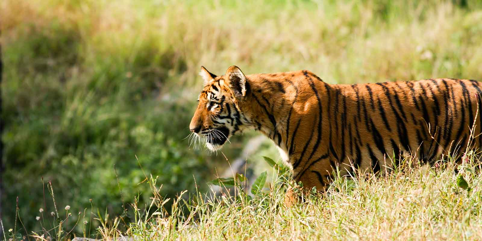 Young tiger in grass in Indian national park