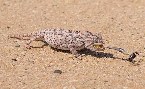 Chameleon catching a beetle with tongue in the Namibia desert