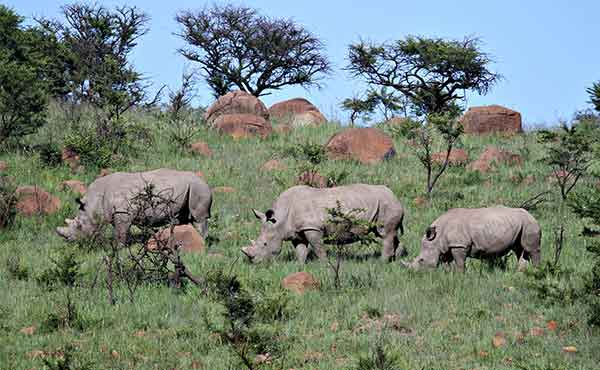 Family of rhino in Hluhluwe-imfolozi Park in South Africa