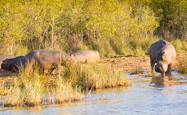 Hippos relaxing on the river banks in isimangaliso wetland park in south africa