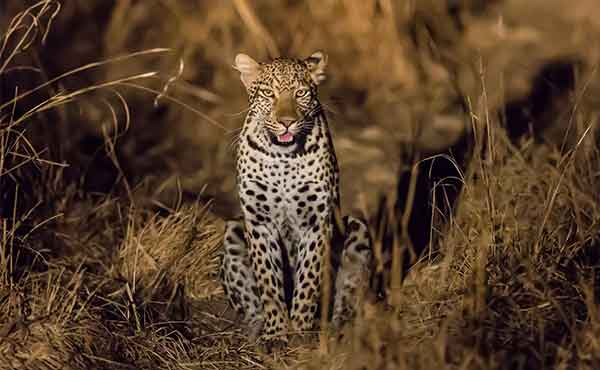 Leopard looking directly at the camera during night drive in South Luangwa National Park Zambia