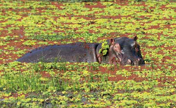 Hippo partly submerged in green swamp in the Luangwa