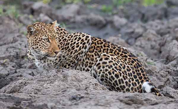 Leopard lying on rock looking for prey in South Luangwa National Park