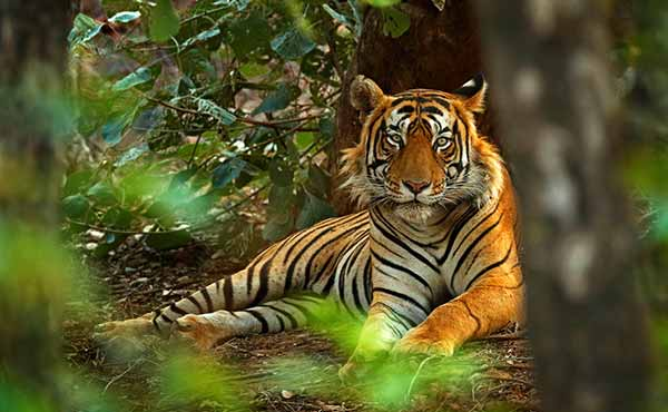 Tiger resting and looking through the trees