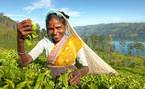 Tea picker in hills of Sri Lanka