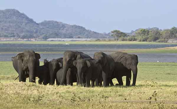 Elephant herd in front of Minneriya tank