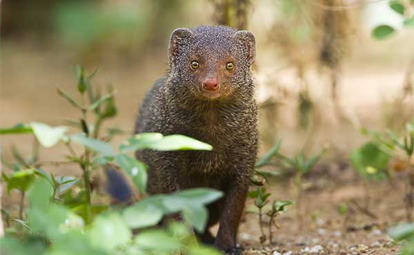 Indian grey mongoose in undergrowth
