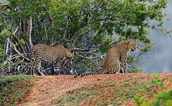 Pair of leopards snarling at each other in Yala