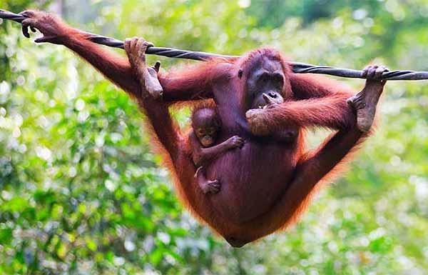 Orang utan with baby hanging on a cable in a sanctuary.