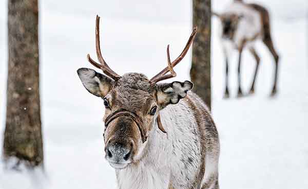 Reindeer in snowy Lapland forest in winter