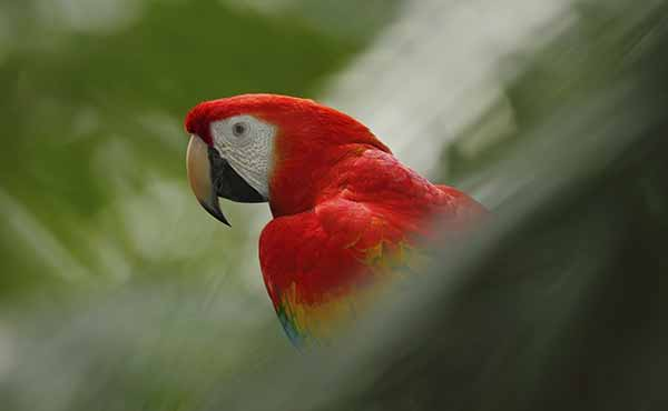 Profile of red macaw in Costa Rican rainforest