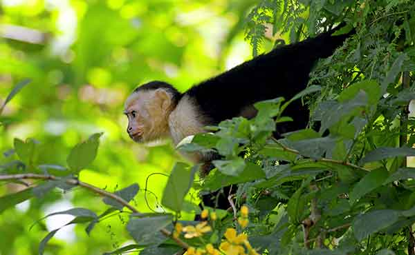 White faced capuchin monkey looking out from tree in Manuel Antonio