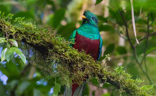 Resplendent quetzal in Costa Rican rainforest