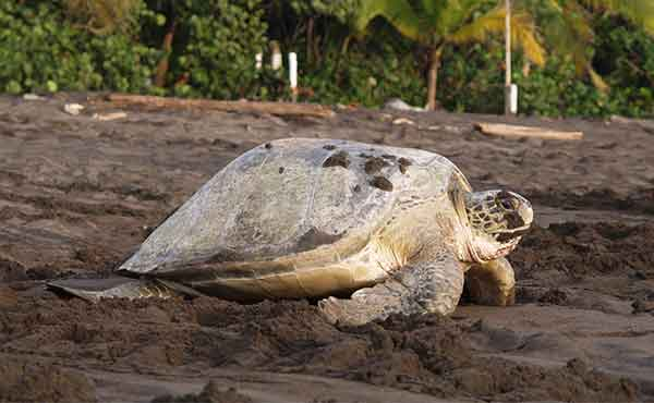 Turtle making its way from the beach to the sea at Tortuguero