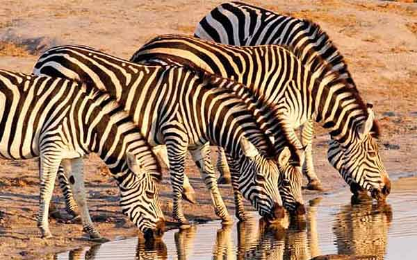 Group of zebra drinking at a waterhole